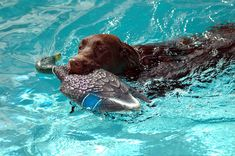 Photo about Chocolate Labrador Retriever being trained with a decoy duck. Photographed at a local swimming pool Florida. Image of nature, sport, dogs - 357892 Chocolate Labrador Retriever, Pool Days, Royalty Free Pictures, Nature Images, Dog Accessories, Dog Bed, Small Dogs, Dog Bowls, Cute Dogs