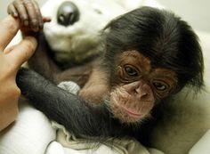 2 week old chimpanzee