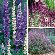 Perennial Sage, Meadow Sage, Garden Sage -attracts butterflies and humming birds, easy care, blooms late summer to autumn Zone 5 Plants, Plant Zones, Growing Grass, Growing Herbs, Salvia, Sage Garden, Meadow Garden, Red Perennials, Modern Planting