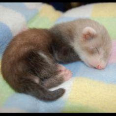 Baby ferret...ohhmagash precious baby