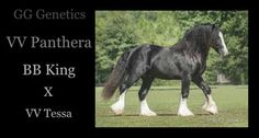 Another example of a beautiful Vanner with GG Genetics!!  To learn more about the Beauty of Gypsy Vanner horses please visit Gypsygold.com