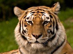 Cabeza de un tigre 1 - Imágenes, fondos de pantallas y fotos
