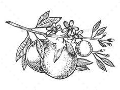 Orange Tree Branch Engraving Vector Illustration by AlexanderPokusay Tree Illustration, Ink Illustrations, Engraving Illustration, Line Tattoos, Small Tattoos, Tatoos, Tree Branch Tattoo, Flor Tattoo, Branch Drawing
