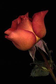 Rose in Shedron color by Cristobal Garciaferro Rubio, via 500px
