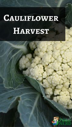 VIDEO: How Cauliflower is Harvested. See how cauliflower is harvested. All footage of the growing area and harvest crew were taken in Watsonville, CA. Organic Farming, Fruits And Vegetables, Vegetable Garden, Cauliflower, Harvest, Behind The Scenes, Garden Ideas, Commercial, California