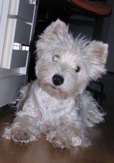 Hembras | Chocco (hembra) - Criador Westies Luna de Media noche westi westy west highland white terrier westie cachorros