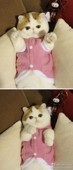 Snoopy the cat is an exotic shorthair that lives in China. As you can see, Snoopy is very stylish and enjoys modeling. You can find more pictures of him over on tumblr. You may also like: Meet Sam: The Cat With Eyebrows (9 Pics) Is Corgnelius the Cutest Corgi on the Internet? (16 Pics)