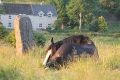 Midnight the legend enjoying the summer sunshine! Galway Ireland, Show Jumping, Cob, Irish, Sunshine, Horses, Summer, Animals, Summer Time