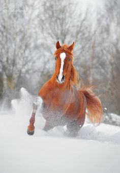 Chestnut red Arabian stallion running through the deep snow. This horse photography is spectacular! All The Pretty Horses, Beautiful Horses, Animals Beautiful, Horse Pictures, Animal Pictures, Art Quotidien, Animals And Pets, Cute Animals, Baby Animals
