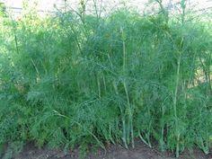 Посеять укроп летом, особенности выращивания укропа — Копилочка полезных советов