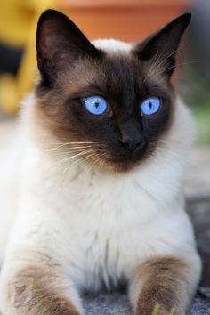 Siamese Kittens, Cute Cats And Kittens, Cool Cats, Kittens Cutest, Pretty Cats, Beautiful Cats, Gato Gif, Image Chat, Photo Chat