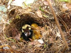 bumble bee nest