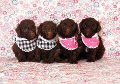 Un #buongiorno da questi dolcissimi #baby #barboncini! ♥ E da #LollyStar naturalmente!!! ;) #poodles #puppies