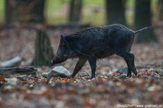 Wühlen mit Maß - So halten es die Wildschweine des Nationalpark Thayatal. Was es mit dem Wühlen auf sich hat, wozu es gut ist und warum mit Maß und Ziel, das erklärt Euch alles unser Nationalpark-Förster Wolfgang Riener im aktuellen NP Thayatal Blogbeitrag. http://blog.np-thayatal.at/wuehlen-mit-mass/