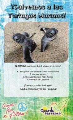 Campaña del Movimiento Ambientalista Guardabarranco. Salvemos a las Tortugas Marinas! Nicaragua