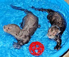 Giant Otter Pups   Giant-Otter-Pups-in-Pool-3-16-11-_Tad-Motoyama-3852
