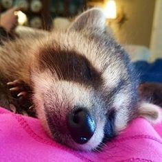 Marley, el mapache al que casi tiran a la basura. | Los 21 mapaches más importantes de 2015