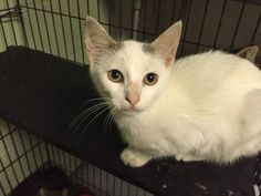 GORDY HAS BEEN RESCUED!! THE 1265TH CAT RESCUED FROM CACC IN 2015 12 OCT @11AM ET - PULLED FOR RESCUE BY COLUMBUS HUMANE SOCIETY FOR LOCAL FARMHOUSE PET PLACEMENT.