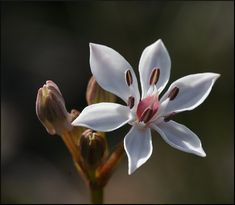 Burchardia umbellata;  by petrichor, via Flickr