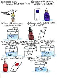 Gram stain procedure