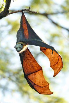 Grey-Headed Flying Fox (Pteropus poliocephalus)wants to give you hugs.
