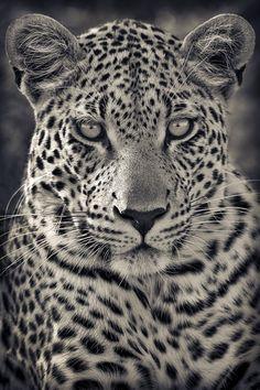 funnywildlife - Portrait of A Predator! Motswari Private Game Reserve, South Africa by Mario Moreno If yo - Beautiful Cats, Animals Beautiful, Cute Animals, Leopard Tattoos, Animal Tattoos, Jaguar, Gato Grande, Amur Leopard, Photo Animaliere