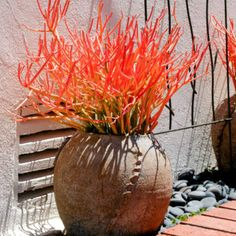 Sticks on Fire - Inland Valley Garden Planner Succulent Cuttings, Planting Succulents, Planting Flowers, Succulent Planters, Succulent Wedding Favors, Succulent Gifts, Pencil Cactus, Orange Plant, Jade Plants