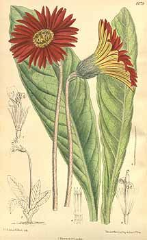 6786 Gerbera aurantiaca Sch.Bip. / Curtis's Botanical Magazine, vol. 132 [ser. 4, vol. 2]: t. 8079 (1906) [M. Smith]
