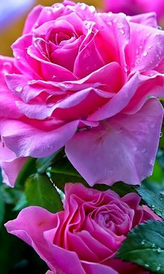 Latest Free Hybrid Tea Roses pink Popular Hybrid car tea would be the most ancient list of carnations classified as present day lawn roses. Amazing Flowers, Beautiful Roses, My Flower, Beautiful Flowers, Pretty Roses, Beautiful Pictures, Bloom, Purple Roses, Pink Flowers