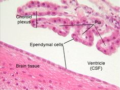 Ependymal cells are glial cells lining the ventricles of the brain and the central canal of the spinal cord) Histology Slides, Cell Line, Structure And Function, Anatomy And Physiology, Plexus Products, Nervous System, Brain, Spinal Cord, Lab