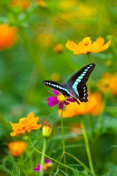 ~~ Cosmos nectar ~ graphium sarpedon butterfly by shinichiro*~~