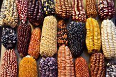 Tipos de maíz PERU