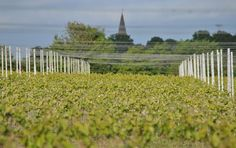 """Lovely to look across the vineyard over a sea of green towards Woodchurch. South East England, Vines, Vineyard, That Look, Backyard, English, Sea, Photo And Video, Twitter"