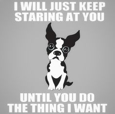 All the things I adore about the Friendly Boston Terrier Puppies I Love Dogs, Puppy Love, Cute Dogs, Boston Terrier Love, Boston Terriers, Boston Terrier Tattoo, Terrier Breeds, Terrier Puppies, Funny Animal Pictures
