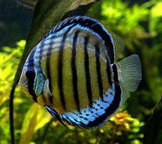 Freshwater Gallery - Poseidon Aquatics - Tropical Fish Wholesale Distribution - Gardena, California