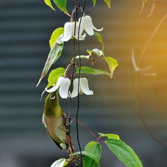 Winter Clematis and Japanese White-eye