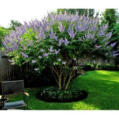 Vitex tree, or Chaste tree. It is a deciduous shrub that is commonly trimmed into a small tree. This fast growing shrub gets to an average size of 15′ high by 15′ wide. This sun loving shrub will bloom all summer long until early fall. Normal bloom times in North Texas are from May to September.
