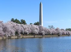 2016 Photograph, Washington Monument from the Tidal Basin, Cherry Blossoms on the Tidal Basin with the Washington Monument in the background, Washington, D. C. © 2016.