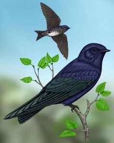 Purple Martin - Whatbird.com