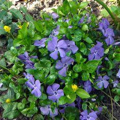 Vinca minor - Petite Pervenche couvre-sol bleue