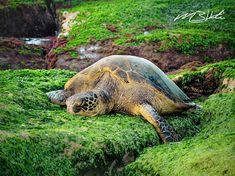 Sea Turtle | Michael B Hardie