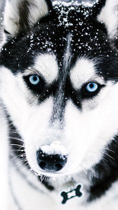 Cute Husky Puppies, Puppy Husky, Super Cute Puppies, Siberian Husky Puppies, Cute Baby Dogs, Super Cute Animals, Cute Funny Animals, Cute Baby Animals, Blue Eyed Husky Puppy