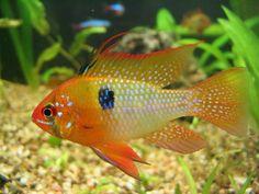 Resultados de la Búsqueda de imágenes de Google de http://paradisetropicalfish.com.sv/wp-content/uploads/2010/08/ramirezi-3.jpg