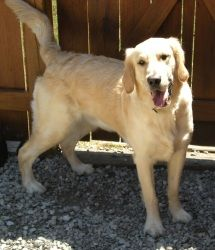 Taz has been adopted! Taz is an adoptable Golden Retriever Dog in Country Club Hills, IL. Taz is a two-year-old Golden Retriever who is looking for a loving home after a family illness and subsequent move left his owners u...