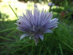 Another closeup of the chive. The flowers on these are really interesting and detailed.