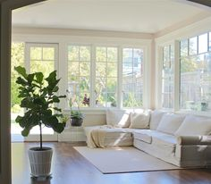 white couch, beautiful windows and a fiddle leaf fig tree... love this living-room!