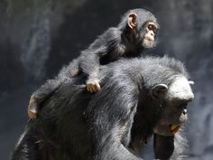 """""""The most important thing that chimpanzees can teach us about love is that they do indeed love."""" -Sheri Speede"""