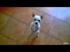 The Dancing ChihuahuaVideo - YouTube