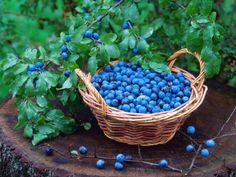 blueberries from the field
