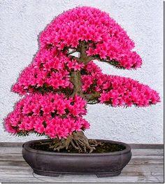 """O bonsai teve origem da China e seu nome, que é uma palavra japonesa, significa """"uma árvore em um pote"""". Há mais de mil anos atrás..."""